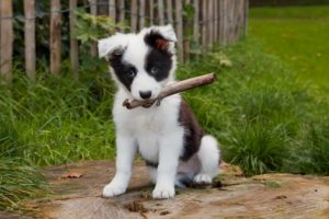 border collie puppy_600